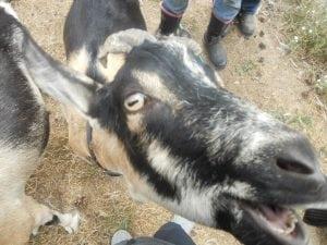 Jake the Goat