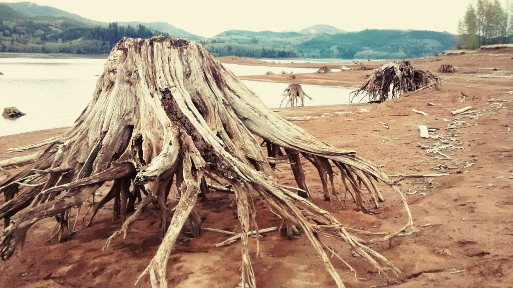 Stumps at Riffe Lake