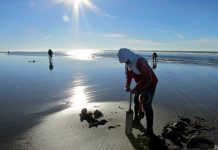 clam dig on the washington coast