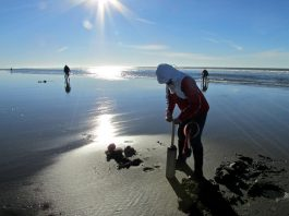 clam dig on the washington coast