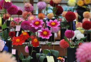 Tubers and Blooms: Dahlia Delights! @ Vernetta Smith Chehalis Timberland Library