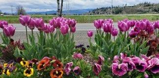 Mossyrock Garden Tulips
